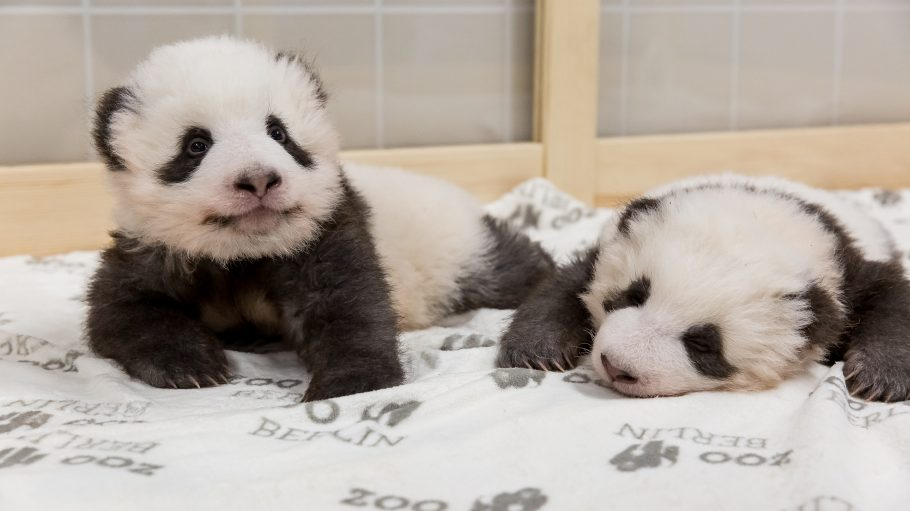 Berliner Pandababy Zwillinge Meng Xiang und Meng Yuan
