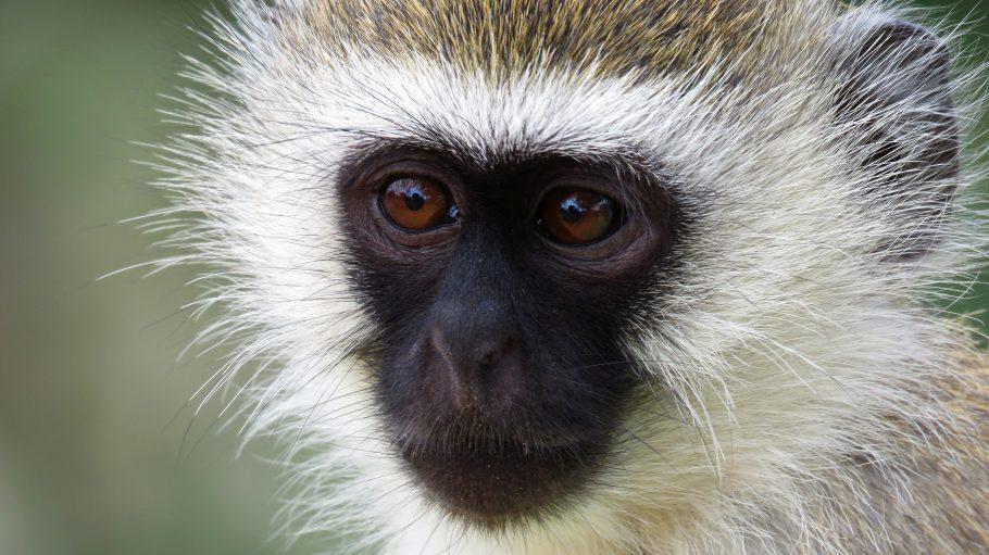 Zuckersüß! Oder doch nicht? In einem Affen steckt auch immer ein kleiner Schelm. Zumindest wird das seinem asiatischen Tierkreiszeichen nachgesagt.