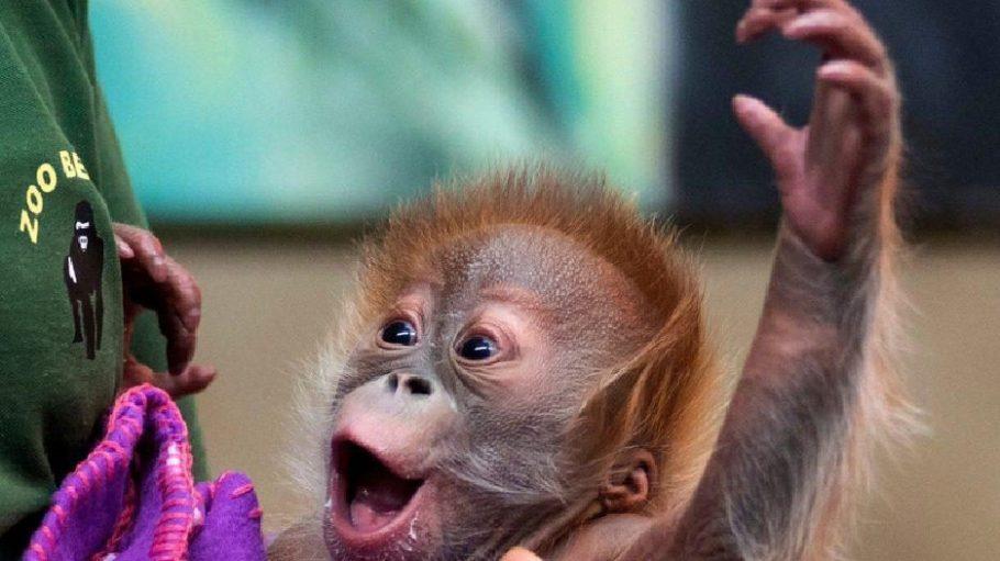 Orang-Utan-Baby Rieke zieht schon bald in einen englischen Zoo um. Noch zieht sie aber erst mal eine Schnute in Berlin.