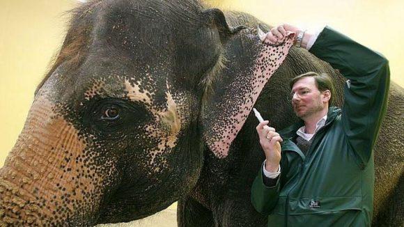 Andreas Knieriem, künftiger Zoochef in Berlin, nimmt einer Elefantenkuh im Münchener Tierpark Hellabrunn Blut ab - damals noch in seiner Funktion als Tierarzt.