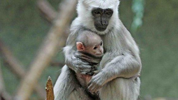 Bei den Affen in Berlin lief es dieses Jahr richtig rund: Auch die Hanuman-Languren sind im Februar wieder einer mehr geworden.