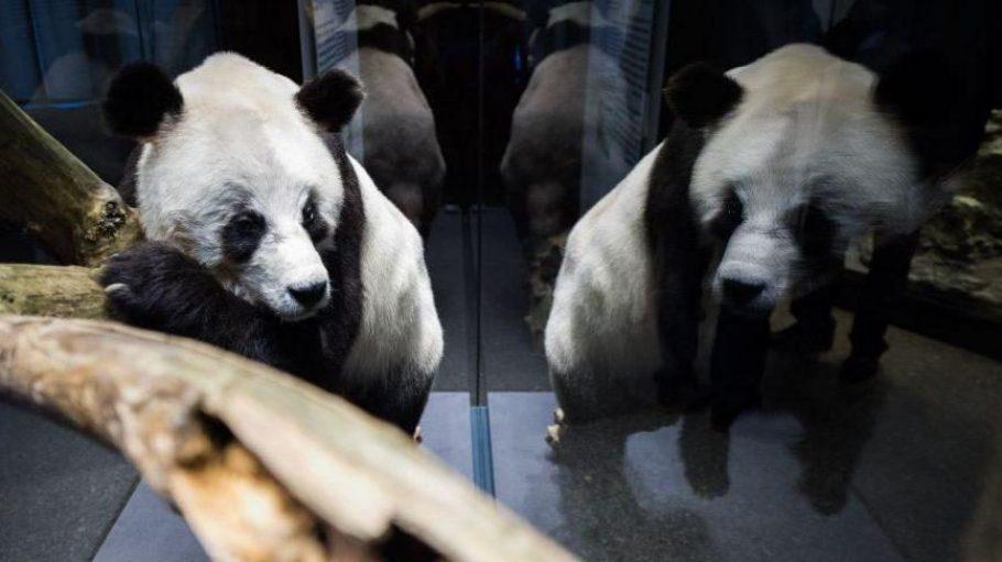 So sitzt der Ex-Berliner Bao Bao ab heute in einer Vitrine im Naturkundemuseum.
