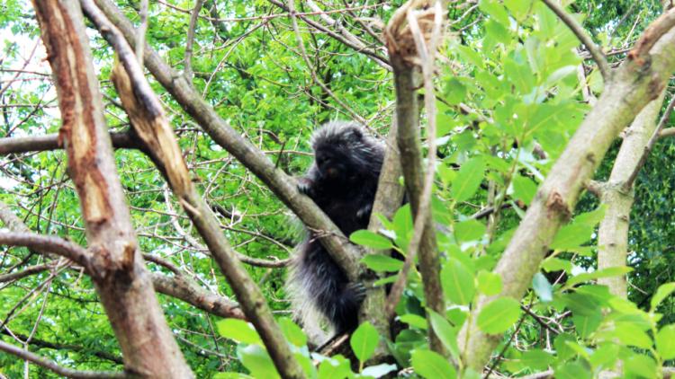 Diese putzigen Baumstachler sind die neuen Bewohner der Nordamerika-Landschaft im Tierpark Berlin.