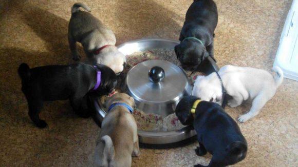 Damit aus kleinen Möpsen stattliche Hunde werden, muss viel gefressen werden. Aber Achtung! Die Linie nicht aus dem Blick verlieren...