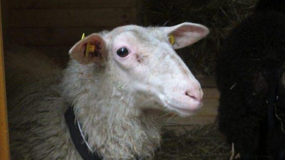 Dorle hat's definitiv mehr mit der Kamera. Hier klimpert sie mit ihren schönen Schafsaugen.