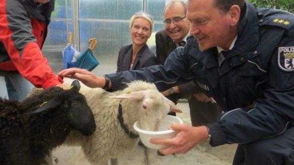 Das war ein lustiges Hin und Her, bevor sich die Schafe Djamila (schwarz) und Dorle im SUZ auf einem Foto einfangen lassen wollten. Im Hintergrund: Stadtrat Gerhard Hanke. Klick dich durch für mehr Bilder aus der Gartenarbeitsschule!