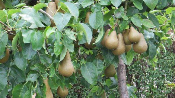 Im Sommer kann man hier zum Selbstversorger werden. Es wachsen Birnen ...