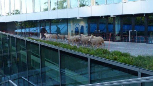 Schnurstracks geht es zur Dachterrasse. Überall Absperrungen, damit die Schafe vor Schreck nicht vom Dach springen.