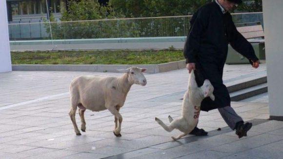 Währenddessen macht sich der Schäfer wieder von der künstlichen Weide und bringt den Lockvogel und seine Mama zurück nach Brandenburg. Die anderen Schafe werden eine Woche in Berlin bleiben.