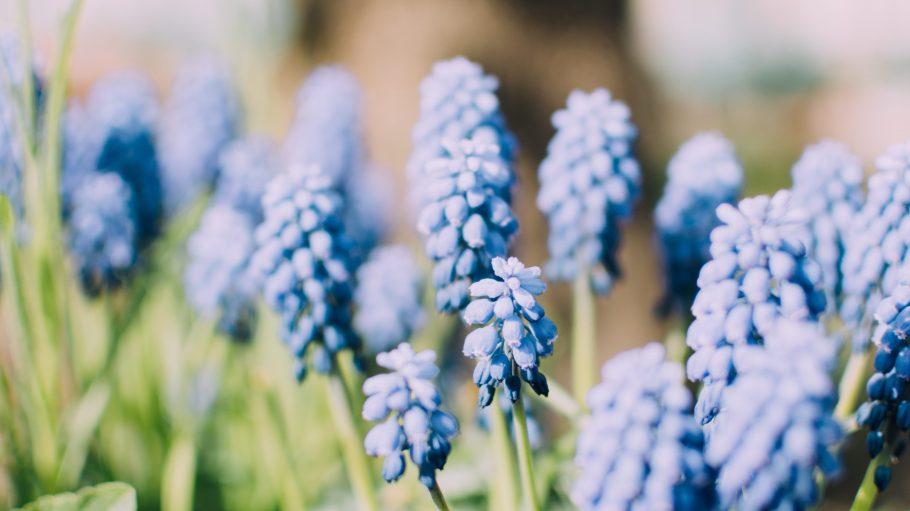 Farbenpracht im Garten. Blaue Hyazinthen bringen jede Wiese zum Leuchten.