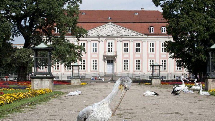Pelikane vor dem Schloss Friedrichsfelde, das in den Tierpark Berlin in Lichtenberg integriert ist.
