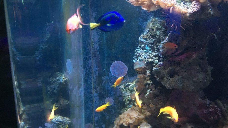 Vor Kurzem haben Wissenschaftler in den USA es geschafft, den Blauen Platten-Doktorfisch nachzuzüchten