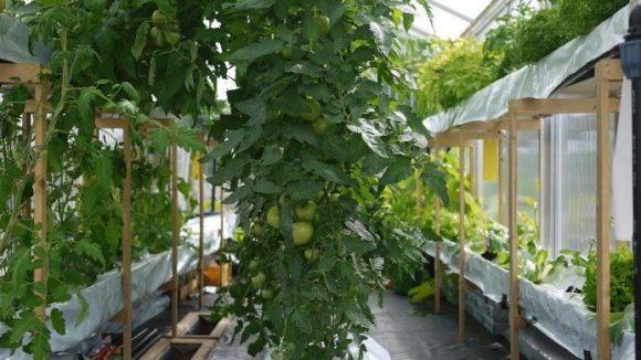 Abgesehen von Tomaten können auch Gurken, Zucchini, Auberginen, Minze, Kohlrabi, Salat, Auberginen oder Chili in der Containerfarm angebaut werden.