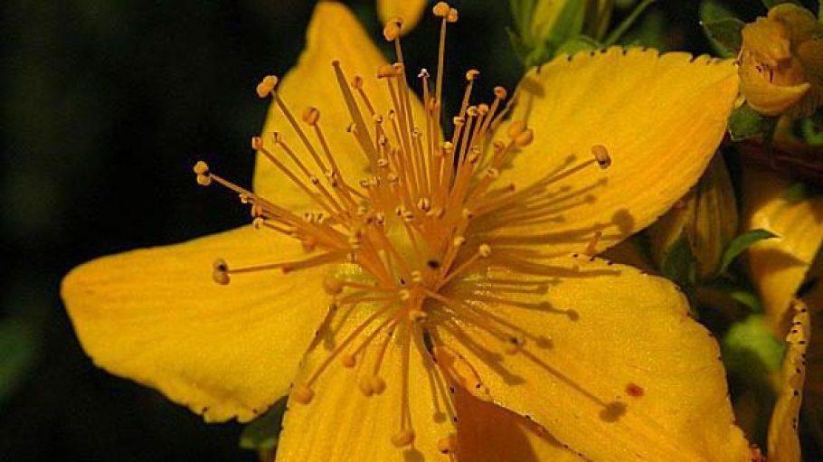 """Das sogenannte """"echte Johanniskraut"""" ist ein Dauerrrenner unter den Heilpflanzen. Die Stengel des Krautes sind 15 cm bis 1 m hoch und am oberen Teil weit verzweigt. Das in den Blüten enthaltene Hypericin färbt beim Zerreiben die Finger rot."""