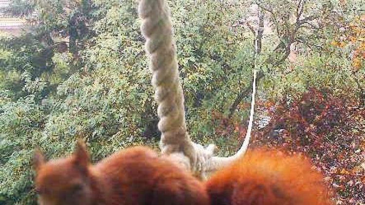 Erwischt! Dass Eichhörnchen das Seil nutzen, darf nun als gesichert gelten.