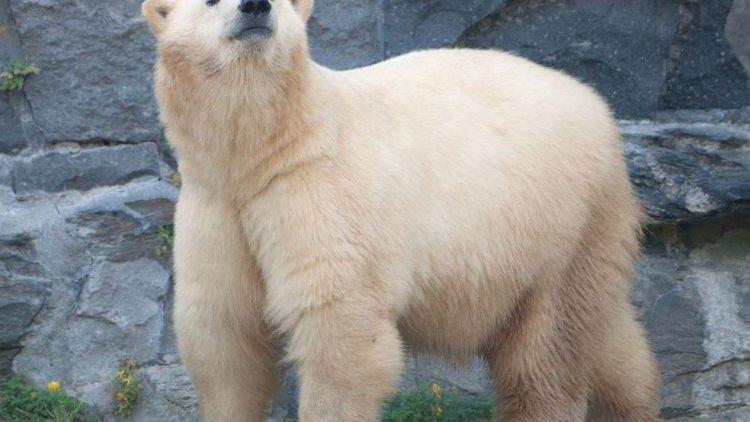 Schon ganz schön groß - Eisbär Wolodja.