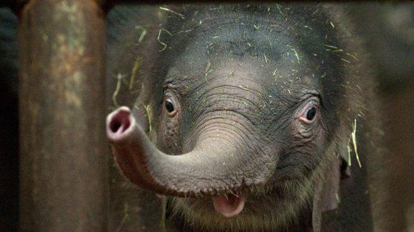 Ein Anblick, der für Hartz IV-Empfänger teurer geworden ist: Ein neugeborener Elefant im Berliner Tierpark.
