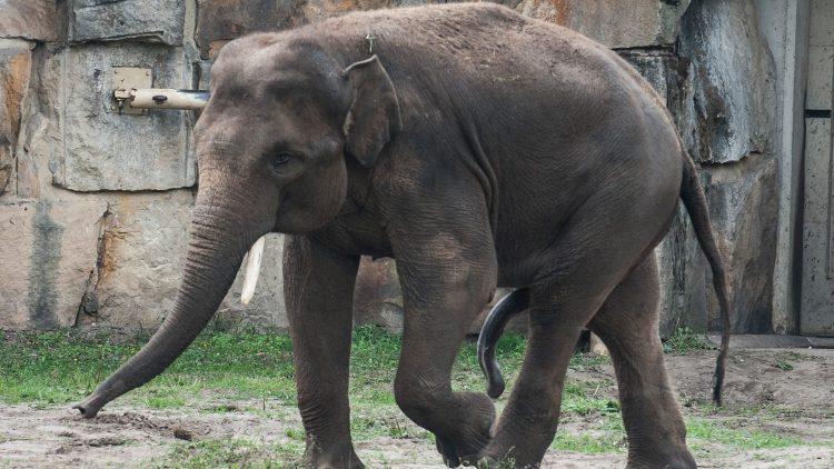 Strammer Burschi: Valentino soll im Tierpark für Nachwuchs sorgen.