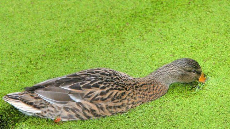 """Das sogenannte """"Gründeln"""" kann für Enten im Berliner Zoo derzeit tödlich enden."""