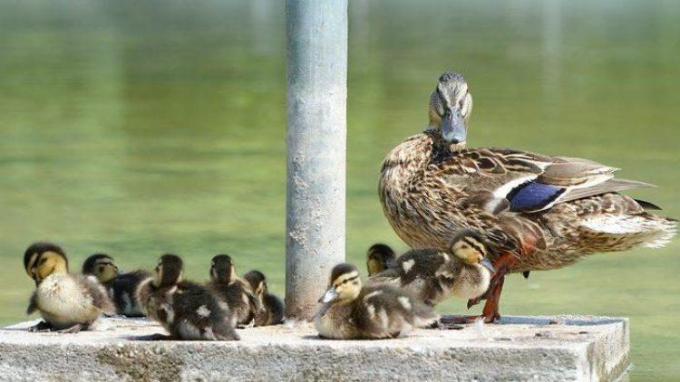 In Wilmersdorf konnte eine Entenfamilie gerettet werden.