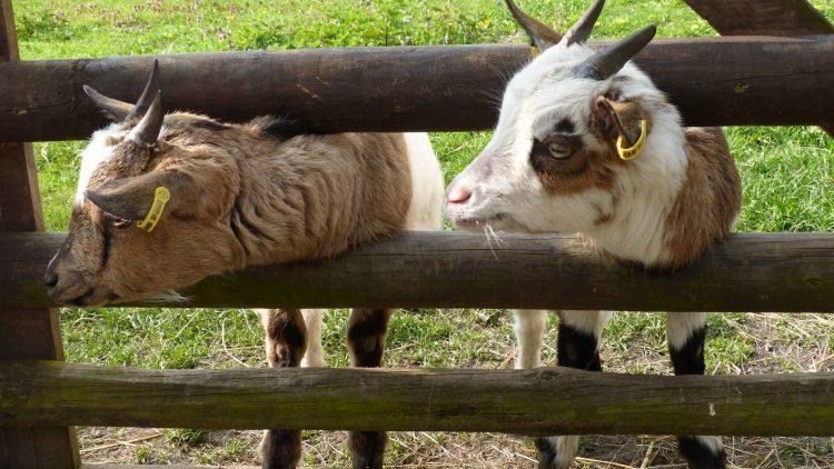 So süß - wir haben uns nicht nur in die Ziegen verliebt!