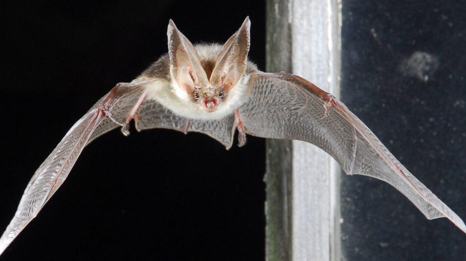 Fledermäuse suchen im Winter besonders dunkle, ruhige und trockene Plätze auf.