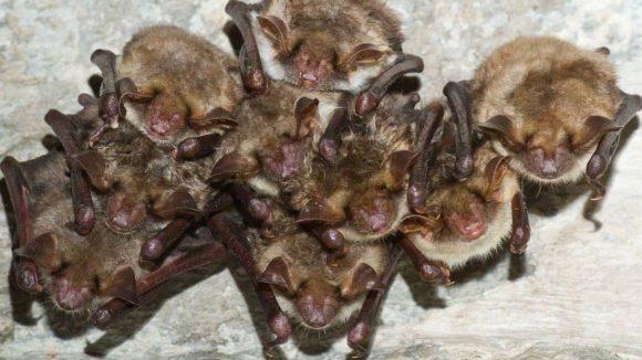 Sehen sie nicht niedlich aus? Die Fledermäuse in der Zitadelle Spandau halten zur Zeit Winterschlaf.