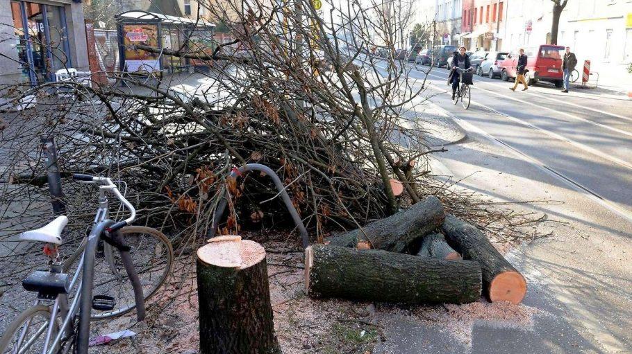 Kahlschlag: 24 Bäume wurden in der Pappelallee gefällt, die meisten davon - Pappeln.