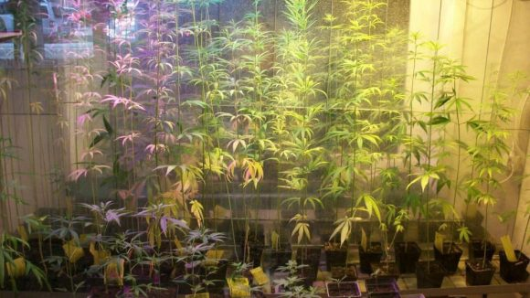 """Hier wachsen Cannabis-Pflanzen der Gattung """"Fedora 17""""."""