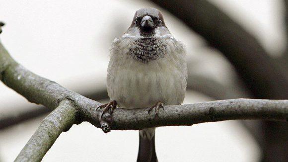 """Schon fast ein Berliner Wahrzeichen: der Spatz. Ob andere Vögelchen dem Piepmatz mit ihrer Zahl Konkurrenz machen können, wird sich in der """"Stunde der Wintervögel"""" zeigen."""
