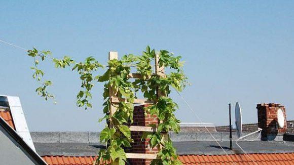 Einen Teil des für das Weddinger Bier genutzten Hopfens bauen die jungen Firmenmacher auf einer Dachterrasse vor Ort an.