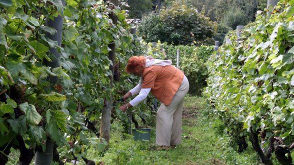 Die Weinlese im Humboldthain fand Anfang Oktober statt.