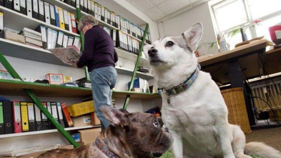 """Die können es sich heute neben Herrchen gemütlich machen, während er schuftet: """"Kollege Hund"""" ist in vielen Büros herzlich willkommen."""