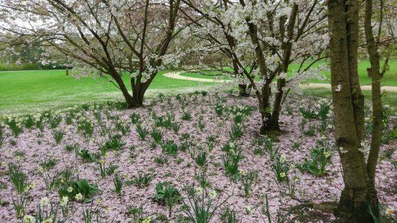 Für das Kirschblütenfest an Ostersonntag und -montag ist die IGA bestens gerüstet.