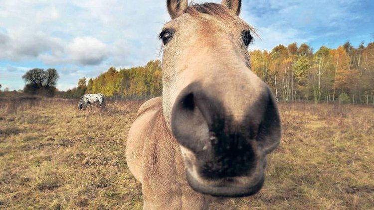 In Lichterfelde ersetzen Pferde bereits Rasenmäher. Vielleicht auch bald auf dem Tempelhofer Feld?