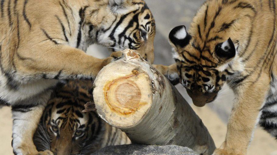 Aber Vorsicht mit den Splittern! Junge Tiger erkunden am dritten April ihr neues Freigehege im Tierpark Berlin.