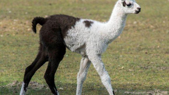 Dieses Lama-Junge stolziert seit dem 4. April durch den Tierpark ...