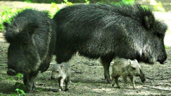 ... Im Gegensatz zu ihren Eltern sind die am 15. April und 1. Mai geborenen Frischlinge hellgrau gefärbt.