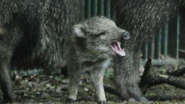 Der Frühling ist da! Dieser handgroße Schreihals ist nur eines von drei niedlichen Nachkömmlingen der seltenen Chaco-Nabelschweine ...