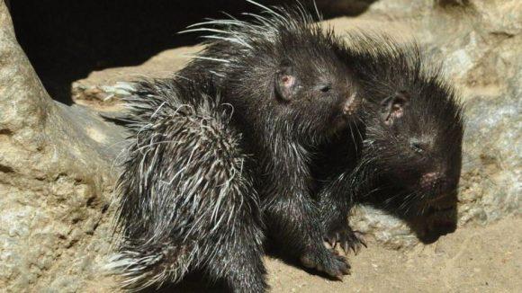 Eine fesche Friese haben auch diese Stachelschweinchen aus dem Tierpark, die erst in der ersten Maiwoche zum ersten mal die Sonne gesehen haben.
