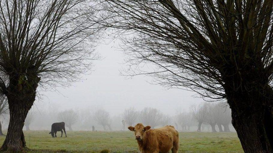 Dieses Brandenburger Rind darf sein Leben genießen. Wo Sie in Berlin Produkte von glücklichen Kühen erwerben können, verrät Ihnen QIEZ.de.