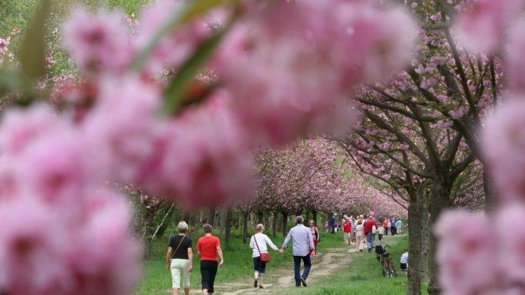 Das Kirschblütenfest ist ein aus Asien stammender Brauch.