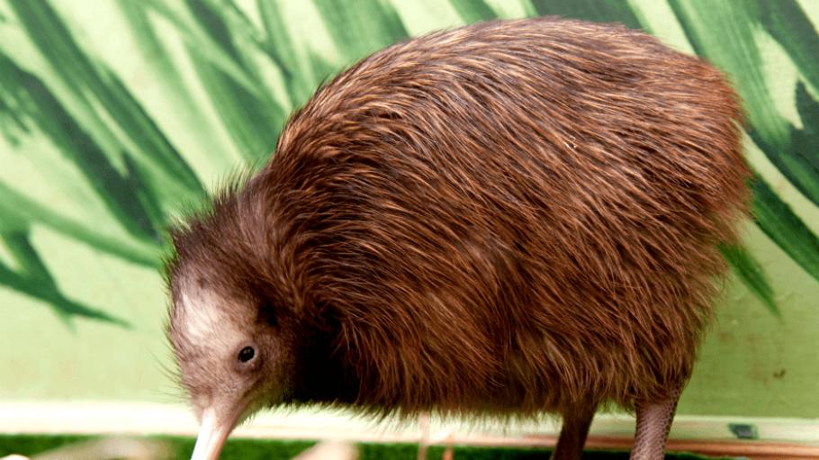 Die nachtaktiven Kiwis leben in Neuseeland - und sind das Maskottchen eines besonderen Pubs in Steglitz.