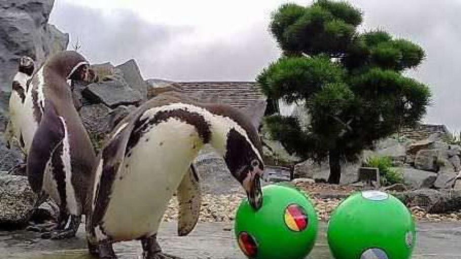 Hier sieht man Pinguine beim Spielen mit Bällen.