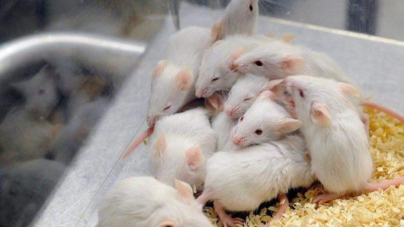 Mit 4000 zusätzlichen Mäusekäfigen soll in Buch die medizinische Grundlagenforschung vorangetrieben werden.
