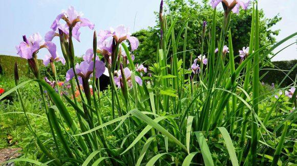 """Marianne Lüdkes Lieblingsblumen sind Iris. """"Sie sind die Diven unter den Blumen"""", sagt sie."""