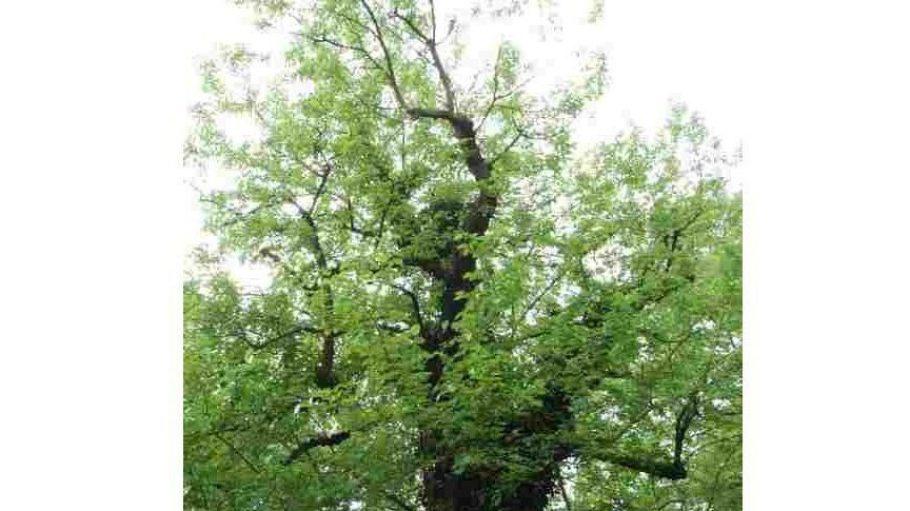Die Maulbeerbäume auf dem Zehlendorfer Dorfkirchhof haben eine interessante Vergangenheit,