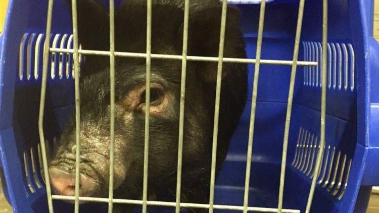 Dieses Schwein sucht nun ein neues Zuhause.