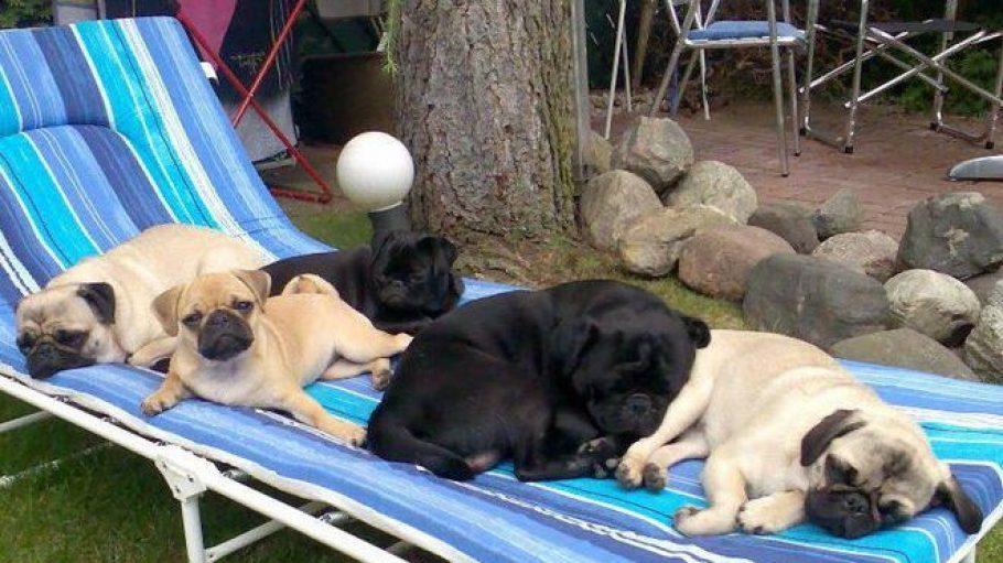 Rüde Terror mit vier seiner Damen. Am Samstag werden die Hunde von den Berliner Möpsen Gesellschaft bekommen und beweisen, wie sportlich ein Mops sein kann!
