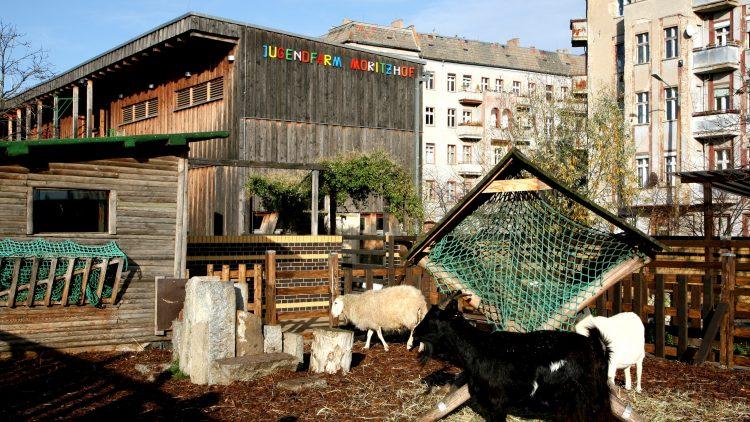 Die Ziegen fühlen sich auf dem Moritzhof richtig wohl.